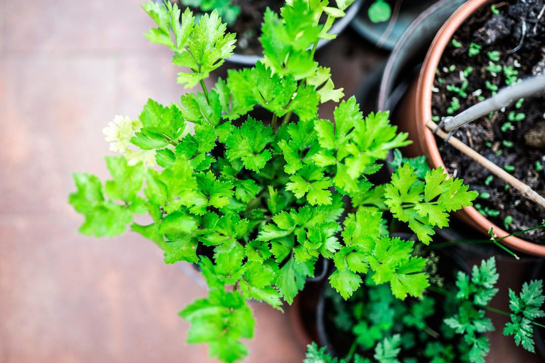 Лекарственные растения какие можно выращивать дома