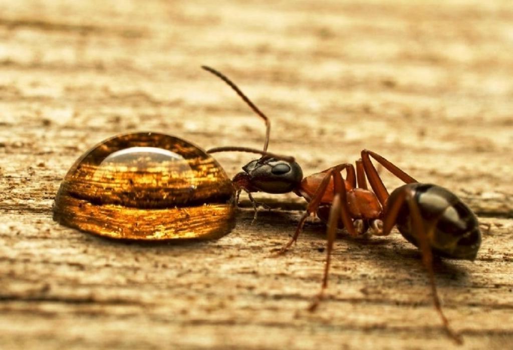 Эфирное масло от муравьев в квартире