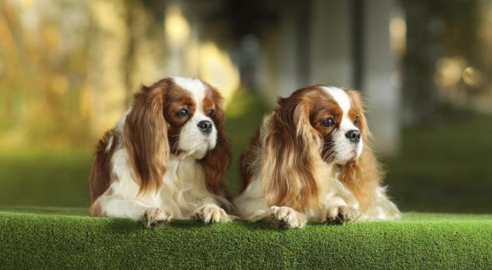 Добрые породы собак для квартиры