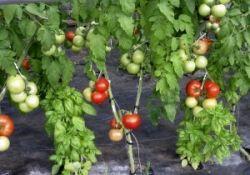 """Выращиваем томат """"Новичок"""" у себя на грядках"""