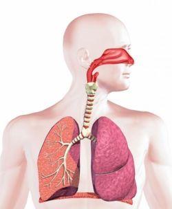 Дыхательная система: функции и факторы защиты