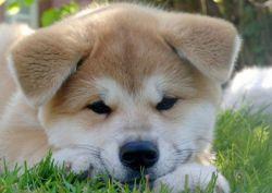 Хатико - порода собаки
