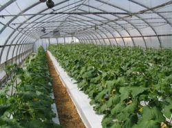 Огурцы в теплице - выращивание как бизнес-идея