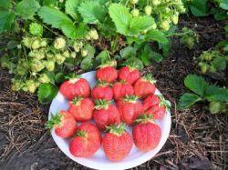 Земляника ремонтантная порадует спелыми ягодами все лето