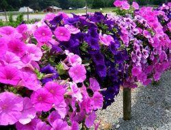 Выращивание петунии: рекомендации начинающим садоводам