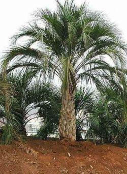Пальма финиковая: особенности ухода за растением в домашних условиях