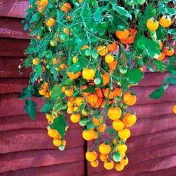 Помидоры черри - выращивание и сорта