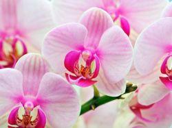 Как сделать большую орхидею