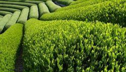 Белый чай: его произрастание, сорта, способы заваривания, полезные свойства и противопоказания