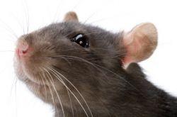 Толкование снов. К чему снится крыса