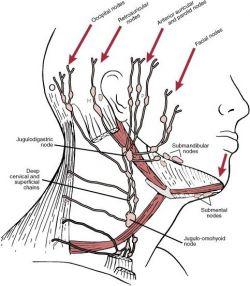 Расположение лимфатических узлов