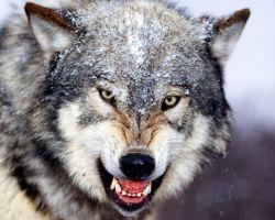 Толкование снов. К чему снится волк?