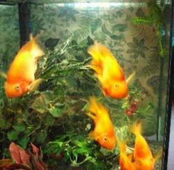 Рыба-попугай в аквариуме