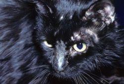 Как выглядит лишай у кошек, и как его можно лечить?
