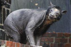 Лысый медведь: генетическая аномалия или болезнь?