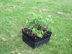 Секреты садоводства: посадка винограда черенками