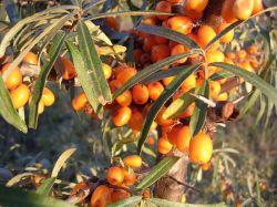 Облепиховое масло: применение, полезные свойства, показания