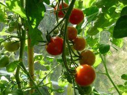 Какие сорта томатов для теплиц покупают опытные дачники
