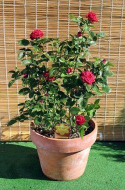 Домашние растения: как ухаживать за розами в горшке