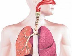 Органы дыхания человека: строение и функции