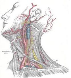 Сонная артерия и ее функции в организме человека