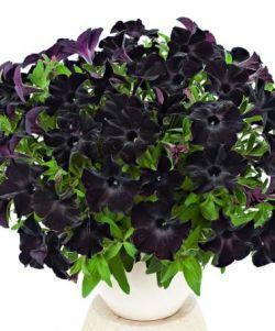 Ампельная петуния - один из популярных видов садовых цветов