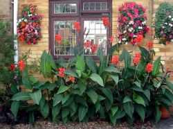Канна: цветок, который украсит любой сад