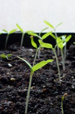 Выращиваем помидор: рассада, уход и полив