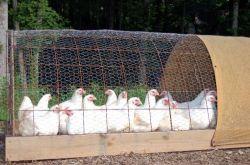 Цыпленок бройлер: выращивание, кормление, освещение, условия содержания
