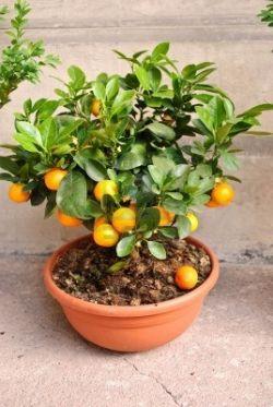 Мандариновое дерево – благоухающее чудо на подоконнике