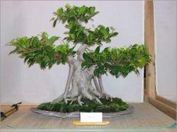 Комнатное растение фикус. Уход в  домашних условиях