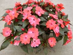 Однолетние цветы для вашего сада и дачи