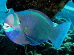 Рыбы-попугаи - удивительные создания природы
