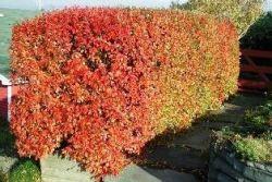 Кизильник блестящий - украшение сада и участка