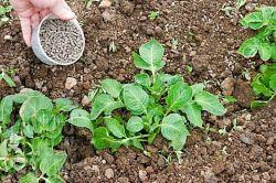 Удобрения для картофеля. Как, когда и сколько вносить?