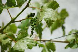 Виноград. Уход весной: обрезка, подкормка, обработка от вредителей
