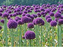 Декоративный лук – яркие шары в вашем саду