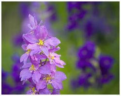 Посадка и уход за цветком анемоны