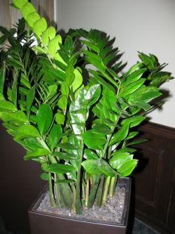 Замиокулькас или долларовое дерево. Уход в домашних условиях