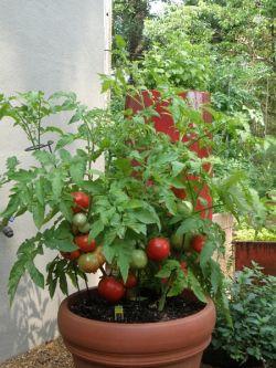 Выращивание помидоров в открытом грунте и на балконе