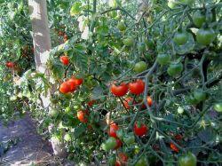 Маленькие помидоры: посадка и уход