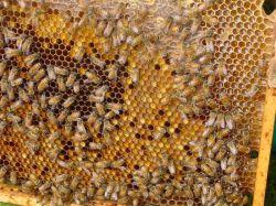 Как принимать пергу? Перга: полезные свойства, как принимать. Пчелиная перга