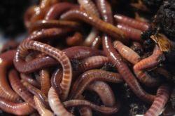 Как развести червей для рыбалки дома