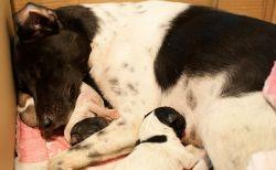 Роды у собак: как принять? Признаки родов у собаки