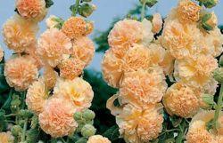 Шток-роза: посадка и уход, фото. Шток-роза: выращивание из семян