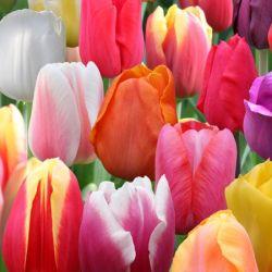 Когда сажать тюльпаны осенью время