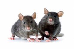 Как избавиться от мышей на даче? Отпугиватель мышей и крыс