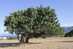 Рожковое дерево. Сироп рожкового дерева: применение. Камедь рожкового дерева