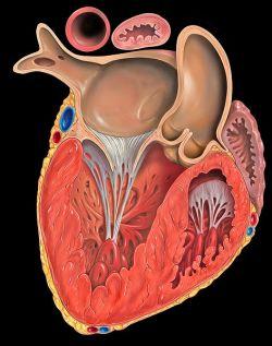 Гипертрофия левого желудочка: причины, симптомы, методы диагностики и лечения