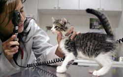 Демодекоз у кошек: симптомы и лечение
